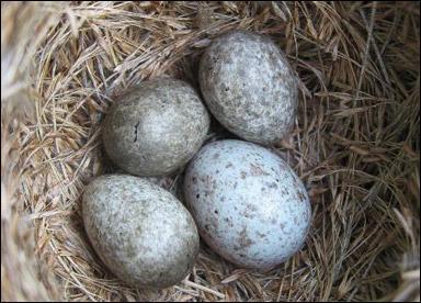 djur som lägger ägg