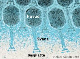 vilken cell är störst hos människan