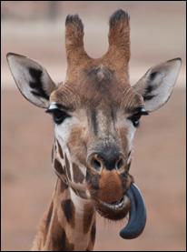släkt till giraff