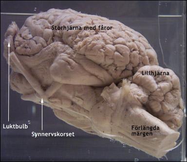 djur utan hjärna