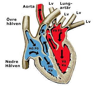 öka blodcirkulation